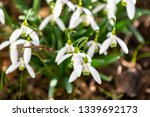 early flowering snowdrops ... | Shutterstock . vector #1339692173