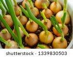 beautiful fresh spring onion...
