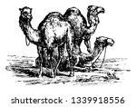 Camels are even toed ungulates vintage line drawing or engraving illustration.