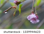 rain weeping cherry tree | Shutterstock . vector #1339944623