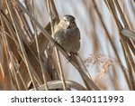 sparrow on reed at lake | Shutterstock . vector #1340111993