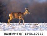 young roe deer  capreolus...   Shutterstock . vector #1340180366