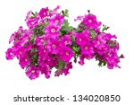 Petunia Flowers Isolated With...