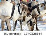 wild reindeer. deer race.... | Shutterstock . vector #1340228969