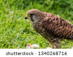 Small photo of In the cool-temperate parts of its range, the common kestrel migrates south in winter; otherwise it is sedentary, though juveniles may wander around in search for a good place to settle down.