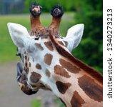 the giraffe  giraffa... | Shutterstock . vector #1340273213