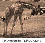 the giraffe  giraffa... | Shutterstock . vector #1340273243