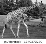 the giraffe  giraffa... | Shutterstock . vector #1340273270