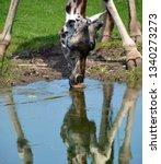 the giraffe  giraffa... | Shutterstock . vector #1340273273