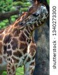 the giraffe  giraffa... | Shutterstock . vector #1340273300