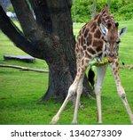 the giraffe  giraffa... | Shutterstock . vector #1340273309