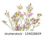 closeup of waxflower plant ... | Shutterstock . vector #134028839