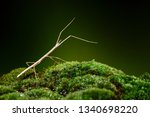 stick insect or phasmids ... | Shutterstock . vector #1340698220