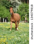 Small photo of Chestnut warmblood running on green pasturage with flowers