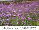 Field Of Violet Tiny Petals Of...