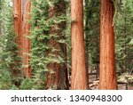 giant sequoias in redwood forest - stock photo