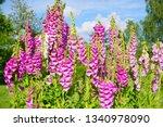 Digitalis Purpurea   Colorful...