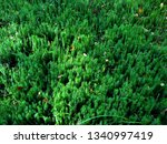 Lycopodium  Moss In The Forest