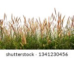 reeds of grass isolated and... | Shutterstock . vector #1341230456