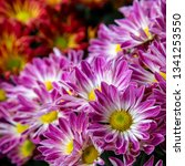 close up of chrysanthemum... | Shutterstock . vector #1341253550