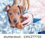 little pinscher lies relaxed in ... | Shutterstock . vector #1341277733