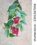 Small photo of Abutilon megapotamicum plant with red - yellow flowers, Indian mallow, linterna china, trailing abutilon