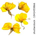 Stock photo eschscholzia californica cup of gold dry flowers in bloom orange pressed petals flat yellow 1341453866
