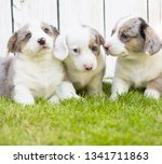 monthly puppies of a corgi sit... | Shutterstock . vector #1341711863
