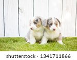 monthly puppies of a corgi sit... | Shutterstock . vector #1341711866