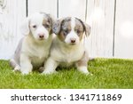 monthly puppies of a corgi sit... | Shutterstock . vector #1341711869