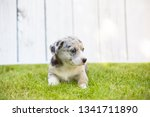 monthly puppy of a corgi sit... | Shutterstock . vector #1341711890