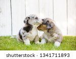 monthly puppies of a corgi sit... | Shutterstock . vector #1341711893