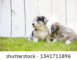 monthly puppies of a corgi sit... | Shutterstock . vector #1341711896