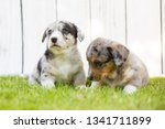monthly puppies of a corgi sit... | Shutterstock . vector #1341711899