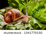 Snail Muller Gliding On The We...