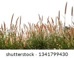 reeds of grass isolated and... | Shutterstock . vector #1341799430