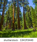 Tall And Big Sequoias In...