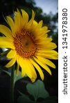 the beauty of sunflowers in the ... | Shutterstock . vector #1341978380
