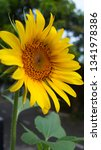 the beauty of sunflowers in the ... | Shutterstock . vector #1341978386