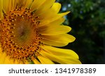 the beauty of sunflowers in the ... | Shutterstock . vector #1341978389