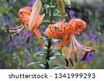 Small photo of Tiger lilies in garden. Lilium lancifolium (syn. L. tigrinum) is one of several species of orange lily flower to which the common name Tiger Lily is applied. Can be used as a wallpaper or background.