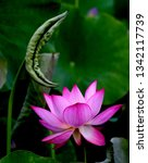blooming pink lotus  with... | Shutterstock . vector #1342117739