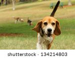 Stock photo beagle and dogs playing in park 134214803