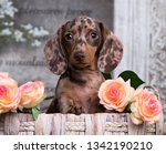 Stock photo dachshund puppy brown tan merle color and roses flowers 1342190210
