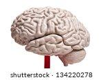 close up to human brain anatomy | Shutterstock . vector #134220278