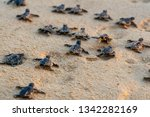 Small photo of Endangered young baby turtles in warm evening sunlight being released at a beach in Sri Lanka, fighting their way towards the ocean. The recently hatched turtles are prone to be attacked by predators.