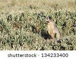 alert adult bat eared fox ... | Shutterstock . vector #134233400