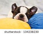 Boston Terrier Puppy Sleep On...
