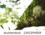 texture of a mossy tree at the...   Shutterstock . vector #1342394009