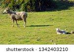 flock of spanish merino sheep...   Shutterstock . vector #1342403210